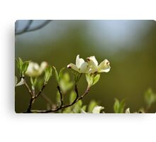 Dogwood Blossoms V Canvas Print