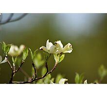 Dogwood Blossoms V Photographic Print