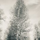Birch Tree - Lou Campbell State Nature Preserve by MLabuda