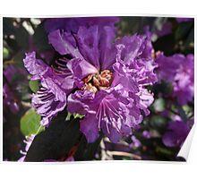 Lilac colored Azalea Poster