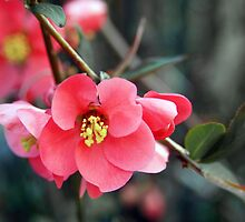 Quince Flowers by Linda  Makiej Photography
