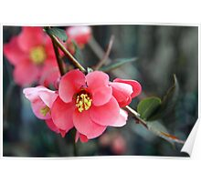 Quince Flowers Poster