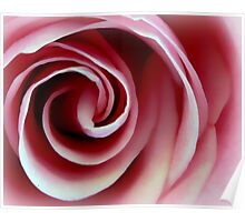 Swirl of Pink Rose Poster