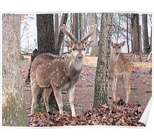 Axis Deer ~  Buck and Doe Poster