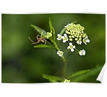 Hoary Cress Poster