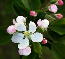 Apple Blossoms by vvfineartphotog