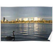Black Swan in Albert Park, Melbourne Poster