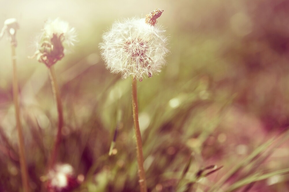 dandelions by passerby2