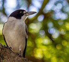 Grey Butcher Bird by NickVerburgt