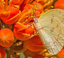 Yellow Migrant by NickVerburgt