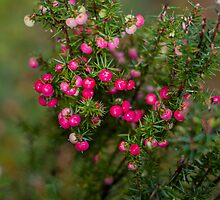 Tasmanian Mountain Berries by Elaine Teague