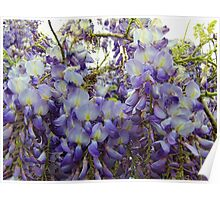 Beautiful Wisteria Poster