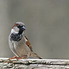 Male House Sparrow by GreyFeatherPhot
