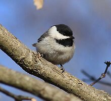 Black Capped Chickadee by NatureGreeting Cards ©ccwri