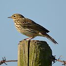 Meadow pipit by Peter Wiggerman