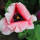 Pittsburgh, PA: Raindrops on Tulips 2 by ACImaging