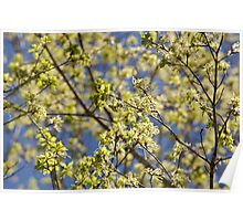 Maple tree blossoms Poster