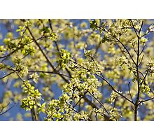 Maple tree blossoms Photographic Print