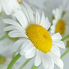 Daisy by CathyS