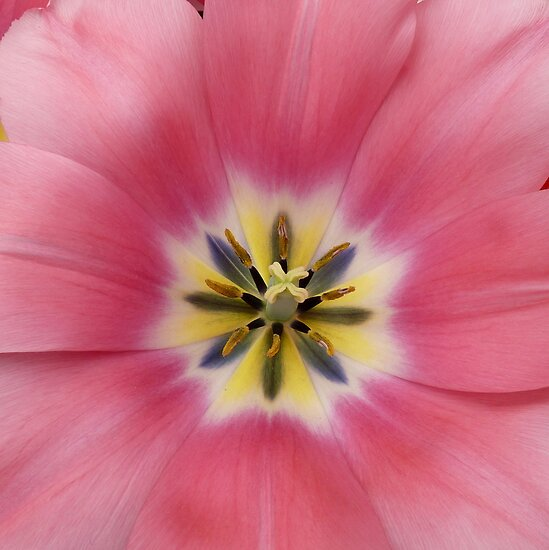 pink tulip wide open by bubblehex08