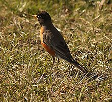 North American Robin by Stephen Thomas