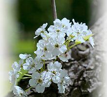 Spring Blossoms by KathleenRinker