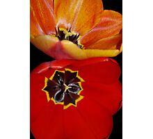 pretty tulip pair Photographic Print