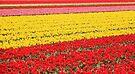 Tulip fields 1 by Jasna