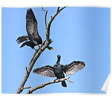 Courting cormorants Poster