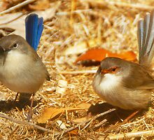 Male and Female Blue Wrens Dance with me by Glen Johnson
