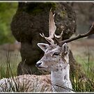 Young Fallow Deer Buck by alan tunnicliffe