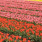 Tulip fields 2 by Jasna