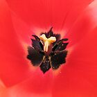 Simply Scarlet -  Sunlit Tulip by BlueMoonRose