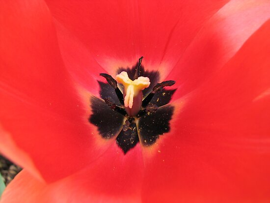 Simply Scarlet -  Sunlit Tulip by BlueMoonRose