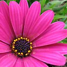 Pretty Pink Petals and Pollen - Cape Daisy Centre by kathrynsgallery