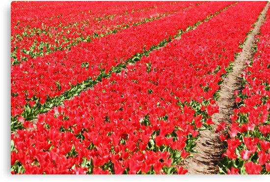 Tulip fields 3 by Jasna