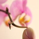 Orchid Bud by noomrevlis
