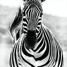 Zebra by Anna Phillips