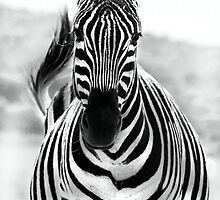Zebra by Anna Phillips
