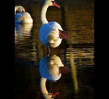 Cygnus Olor - Reflection Of A Mute Swan Standing On One Leg In Porpoise Channel - Stony Brook, New York by © Sophie W. Smith
