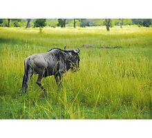 Wildebeest Photographic Print