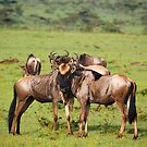 Wildebeests Together by Charuhas  Images