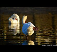 Cygnus Olor - Mute Swan At Porpoise Channel - Stony Brook, New York by © Sophie W. Smith