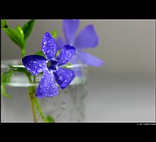 Vinca Minor - Lesser Periwinkle by © Sophie W. Smith