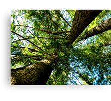 Tall Trees Canvas Print