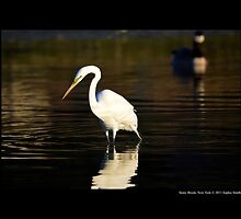 Ardea Alba - Great White Egret Looking For Fish In Porpoise Channel - Stony Brook, New York by © Sophie W. Smith