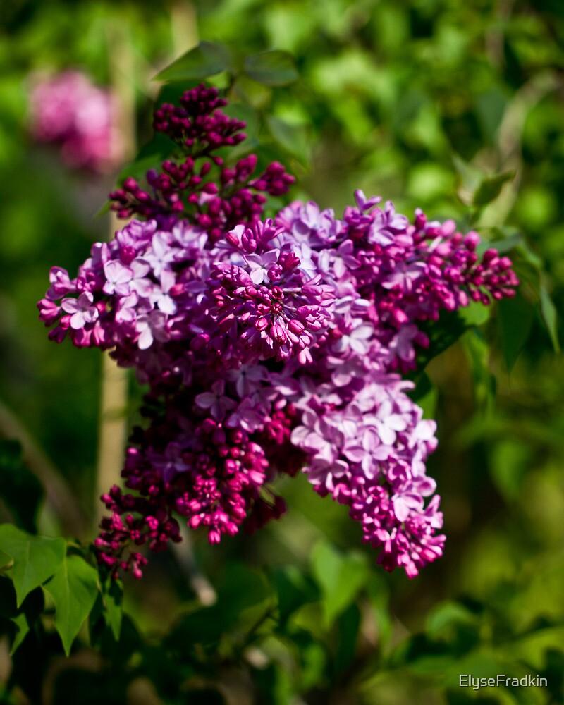 Lilac Star by ElyseFradkin