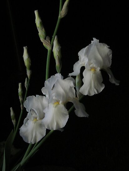 White Night Iris by Guy Ricketts