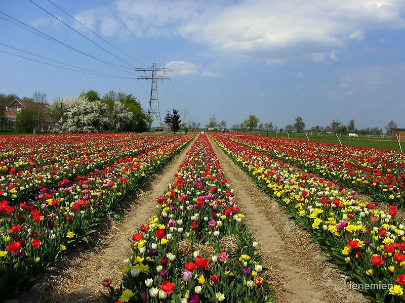 Colorful Tulip Field by ienemien
