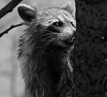 Raccoon Collection....#1 by Linda Pollock